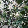 花良治ミカンの花