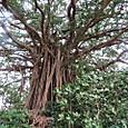ガジュマルの木-3